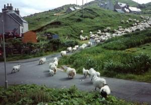Driving sheep in Valtos