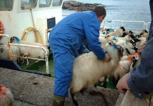 Loading sheep on to the boat for Pabbay