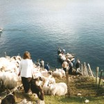 Taking sheep off Pabbay the old way