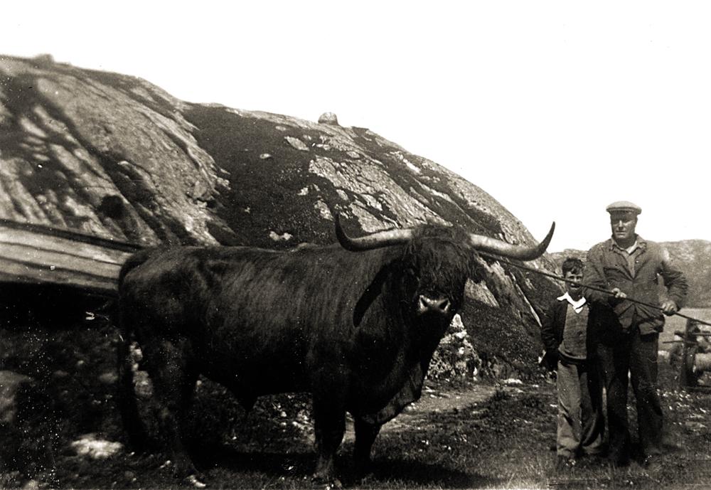 The Valtos Bull